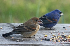 Blue Grosbeak, blue male and brown female
