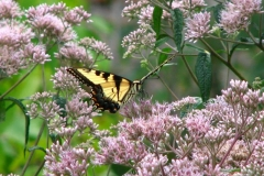Eastern-tiger-swallowtail-butterfly-papilio-glaucus_4352111512_o