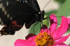 black-swallowtail-on-zinnia_4351360309_o