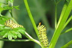 black-swallowtail-papilio-polyxenes_5833879465_o