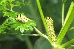 black-swallowtail-papilio-polyxenes_5833880613_o