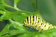 black-swallowtail-papilio-polyxenes_5833880963_o