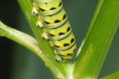 black-swallowtail-papilio-polyxenes_5834433284_o