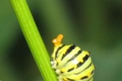black-swallowtail-papilio-polyxenes_5834434066_o