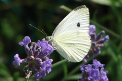 cabbage-white-butterfly_4351356533_o