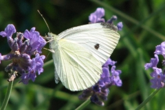 cabbage-white-butterfly_4352104888_o