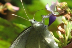 cabbage-white_4352110016_o