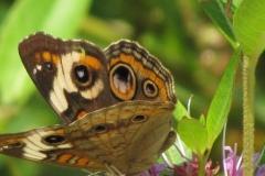 Common Buckeye (Junonia coenia) - 04