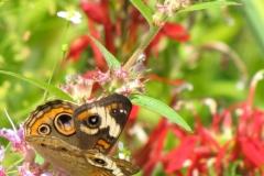 Common Buckeye (Junonia coenia) - 12