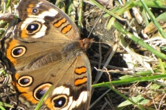 common-buckeye-on-migration_5995335616_o