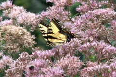 eastern-tiger-swallowtail-butterfly-papilio-glaucus_4351363927_o
