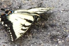 eastern-tiger-swallowtail-papilio-glaucus_4645783267_o