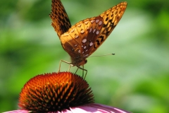 great-spangled-fritillary-on-purple-coneflower_4351358031_o