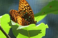great-spangled-fritillary-speyeria-cybele_4352105506_o