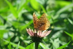 great-spangled-fritillary_4352106330_o