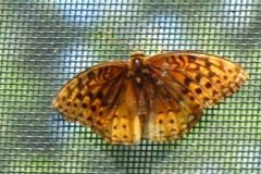 Great Spangled Frittilary (Speyeria cybele)