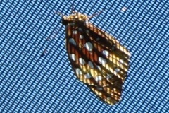 great-spangled-frittilary-speyeria-cybele_5952593134_o
