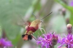 hummingbird-moth-hemaris-thysbe_6012347458_o