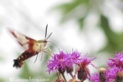 hummingbird-moth-hemaris-thysbe_6012355278_o