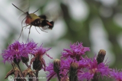 hummingbird-moth-hemaris-thysbe_6012367202_o