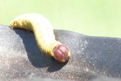 silver spotted skipper caterpillar