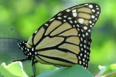 monarch-butterfly-danaus-plexippus_4352105200_o