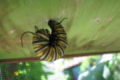 monarch-butterfly-larva_4351357361_o