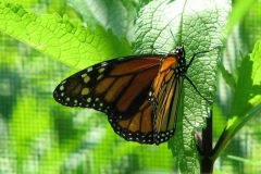 monarch-butterfly_4351357199_o