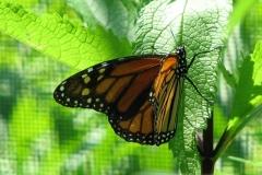 monarch-butterfly_4351357199_o