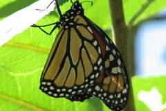 monarch-danaus-plexippus_4352109518_o