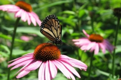 monarch-on-coneflower_4351357527_o