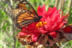 monarch-on-migration_5994776313_o