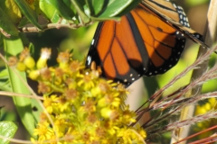 monarch-on-migration_5994797507_o