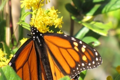 monarch-on-migration_5995354568_o