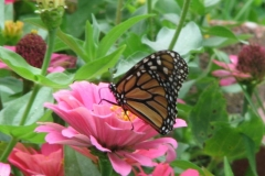 monarch-on-zinnia_4351359371_o