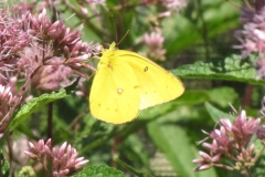 Orange Sulphur (Colias eurytheme) - 1
