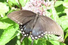 Spicebush Swallowtail (Papilio troilus) - 3