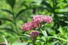swamp-milkweed-asclepias-incarnata_4351357713_o