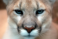 Cougar (Puma concolor). Photo by ipuser_wikimedia_flicker_creativecommons.