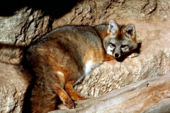 Gray Fox (Urocyon cinereoargenteus). Photo by USFWS/public doamin.