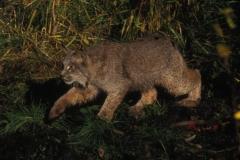 Lynx or Bobcat (Lynx rufus). Photo by USFWS/public domain.