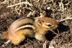 Chipmunk (Tamias striatus) 8 to 10 inches long. Photo by Donna L. Long.