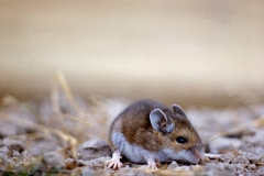 Deer Mouse (Peromyscus maniculatus). Photo by NPS.gov/Public domain.