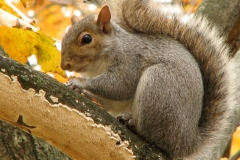 Gray Squirrel (Sciurus carolinensis) eating maple seeds. Photo by Donna L. Long.