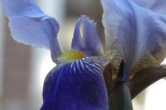 blue-flag-iris-veriscolor_4582722536_o