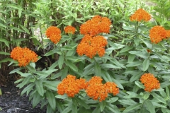 butterfly-weed_5999663762_o