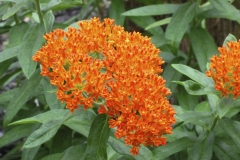 butterfly-weed_5999664178_o