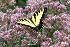 eastern-tiger-swallowtail-on-joe-pye-weed_4768301139_o