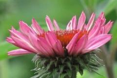 echinacea-purpurea-purple-coneflower_5834220607_o