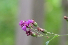 New York Ironweed (Vernonia noveboracensis) - 12